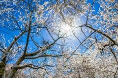 Παγωμένα δέντρα το χειμώνα με το μπλε ουρανό Στοκ Φωτογραφίες