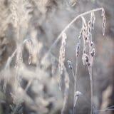 Παγωμένα αυτιά, εγκαταστάσεις παγωμένος χειμώνας χιονοπτώσεων φύσης πρωινού Στοκ Φωτογραφίες