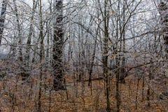 Παγωμένα δέντρα μετά από μια θύελλα πάγου στα ξύλα στοκ εικόνα με δικαίωμα ελεύθερης χρήσης