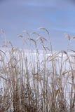 Παγωμένα ζιζάνια Στοκ φωτογραφία με δικαίωμα ελεύθερης χρήσης
