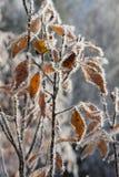 Παγωμένα κίτρινα φύλλα Στοκ φωτογραφία με δικαίωμα ελεύθερης χρήσης