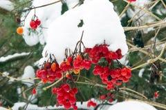 Παγωμένα κόκκινα μούρα Στοκ εικόνα με δικαίωμα ελεύθερης χρήσης