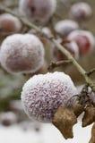 Παγωμένα μήλα υπαίθρια Στοκ εικόνες με δικαίωμα ελεύθερης χρήσης
