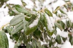 παγωμένα πράσινα φύλλα Στοκ εικόνες με δικαίωμα ελεύθερης χρήσης