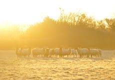 παγωμένα πρόβατα Στοκ Φωτογραφίες