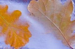Παγωμένα δρύινα φύλλα Στοκ φωτογραφία με δικαίωμα ελεύθερης χρήσης