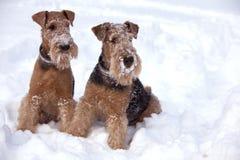 Παγωμένα σκυλιά τεριέ Airedale Στοκ Φωτογραφία