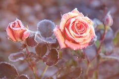 Παγωμένα τριαντάφυλλα σε μια ηλιόλουστη ελαφριά ομίχλη Στοκ Φωτογραφία
