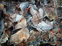 παγωμένα φθινόπωρο φύλλα Στοκ Εικόνα