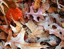 παγωμένα φύλλα Στοκ Φωτογραφίες
