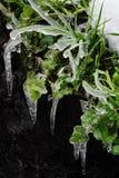 Παγωμένα φύλλα, φύλλο με τη δαντέλλα Ι πάγου Στοκ εικόνες με δικαίωμα ελεύθερης χρήσης