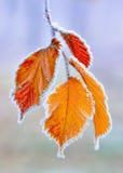 παγωμένα φύλλα Στοκ Εικόνες