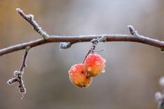 Παγωμένα crabapple φρούτα Στοκ φωτογραφία με δικαίωμα ελεύθερης χρήσης