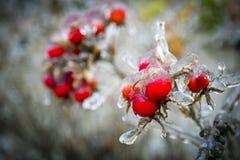 παγωμένα rosehips Στοκ Εικόνες