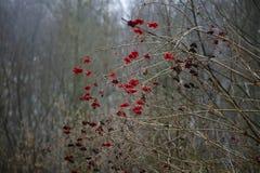 Παγωμένη κόκκινη σορβιά στοκ εικόνα με δικαίωμα ελεύθερης χρήσης