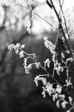 Παγωμένη δροσιά πρωινού σε μια παπαρούνα λοφίων στοκ φωτογραφία