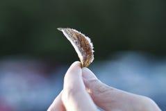 Παγωμένη δροσιά στο φύλλο Στοκ Εικόνα
