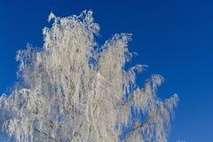 Παγωμένη σημύδα Στοκ Εικόνα