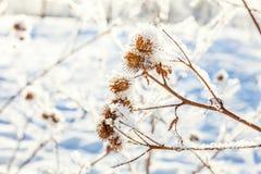 Παγωμένη χλόη burdock στο χιονώδες δάσος, κρύος καιρός το ηλιόλουστο πρωί στοκ φωτογραφίες με δικαίωμα ελεύθερης χρήσης