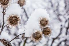 Παγωμένη χλόη burdock στο χιονώδες δάσος, κρύος καιρός το ηλιόλουστο πρωί στοκ εικόνες με δικαίωμα ελεύθερης χρήσης
