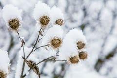 Παγωμένη χλόη burdock στο χιονώδες δάσος, κρύος καιρός το ηλιόλουστο πρωί στοκ φωτογραφία με δικαίωμα ελεύθερης χρήσης