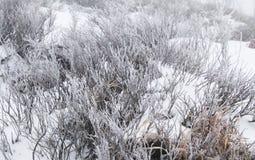 Παγωμένοι θάμνοι του βακκινίου Στοκ εικόνες με δικαίωμα ελεύθερης χρήσης