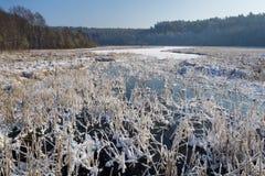 παγωμένοι κάλαμοι λιμνών Στοκ Φωτογραφίες