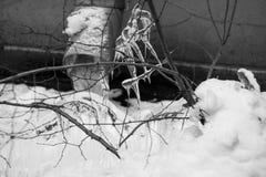 Παγωμένοι κλάδοι και υδρορροή στο χιόνι, γραπτή φωτογραφία Στοκ φωτογραφία με δικαίωμα ελεύθερης χρήσης