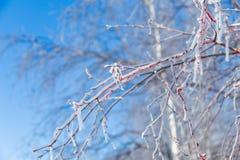 Παγωμένοι κόκκινοι κλάδοι Στοκ φωτογραφία με δικαίωμα ελεύθερης χρήσης