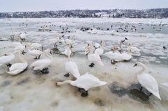 παγωμένοι κύκνοι ποταμών Στοκ Φωτογραφία
