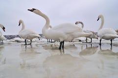 παγωμένοι κύκνοι ποταμών Στοκ φωτογραφία με δικαίωμα ελεύθερης χρήσης