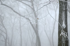 Παγωμένοι κλάδοι στην ομίχλη Στοκ Εικόνα