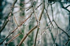παγωμένοι κλαδίσκοι Στοκ Εικόνες