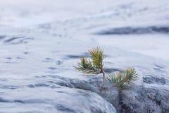 Παγωμένοι μικροί δέντρο και βράχος πεύκων υπαίθριοι Στοκ εικόνες με δικαίωμα ελεύθερης χρήσης