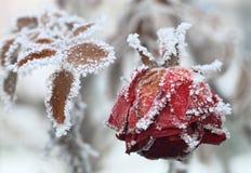 παγωμένος αυξήθηκε Στοκ Εικόνα