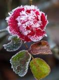 παγωμένος αυξήθηκε Στοκ Φωτογραφίες