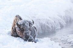 Παγωμένος βίσωνας Στοκ εικόνες με δικαίωμα ελεύθερης χρήσης