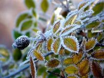 Παγωμένος θάμνος ισχίων στοκ εικόνα