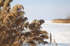 Παγωμένος κάλαμος το χειμώνα Στοκ εικόνα με δικαίωμα ελεύθερης χρήσης