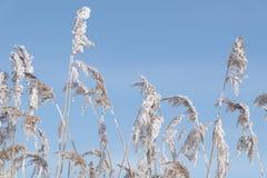 παγωμένος κάλαμος Στοκ φωτογραφίες με δικαίωμα ελεύθερης χρήσης