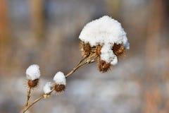 Παγωμένος κάρδος που καλύπτεται με το χιόνι Στοκ φωτογραφίες με δικαίωμα ελεύθερης χρήσης