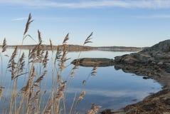 Παγωμένος κάλαμος θαλασσίως Στοκ φωτογραφία με δικαίωμα ελεύθερης χρήσης