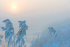 Παγωμένος κάλαμος με το hoarfrost στην αυγή Στοκ φωτογραφίες με δικαίωμα ελεύθερης χρήσης