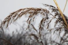 Παγωμένος κάλαμος Στοκ φωτογραφία με δικαίωμα ελεύθερης χρήσης