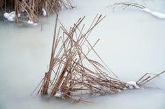 παγωμένος κάλαμος Στοκ Φωτογραφία