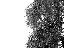 Παγωμένος κλάδος δέντρων χωρίς φύλλα στη misty εποχή χειμερινής ημέρας στο άσπρο υπόβαθρο Στοκ Εικόνες