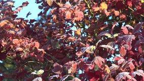 Παγωμένος κλάδος δέντρων και κόκκινα φύλλα που καλύπτονται με την πάχνη στο μπλε ουρανό Κλίση επάνω 4K απόθεμα βίντεο