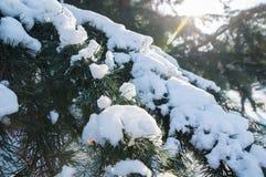 Παγωμένος κλάδος θάμνων που καλύπτεται με τη στενή επάνω άποψη χιονιού Στοκ εικόνα με δικαίωμα ελεύθερης χρήσης