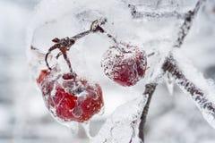 Παγωμένος κλάδος με τα μήλα καβουριών Στοκ Εικόνες