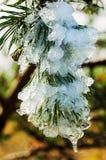 Παγωμένος κλάδος πεύκων ιματισμού στοκ φωτογραφία